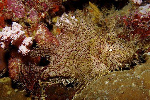 Rhinopias_aphanes_Lacy_scorpionfish